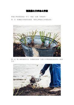 裸根灌木月季怎么种植